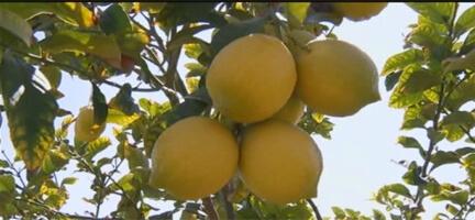 Gazze'den Gelen Limonlara Teşekkür