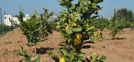 Gazze Yeniden Ağaçlandırma Projesi